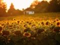 ...slunečnice, sem tam nějaká vyzobaná...